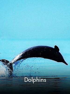 Sabah Al Ahmad Sea City - Dolphins