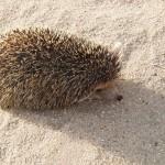 Long- Eared Hedgehog