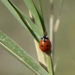 Seven Spot Lady Bird