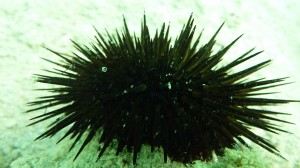 Echinometra mathaei