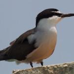 Bridled Tern - Onychoprion anaethetus