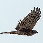 Eurasian Sparrowhawk - Accipiter nisus