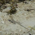 Balnford's Shortnosed Desert Lizard
