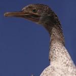 Phalacrocorax nigrogularis