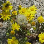 Yellow  Frocks
